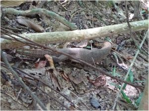 2nd monitor lizard