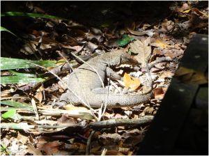 monitor lizard2