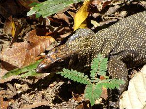 monitor lizard3