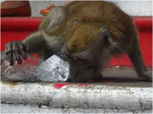 monkey slurping up water