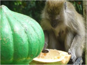 monkey with coconut
