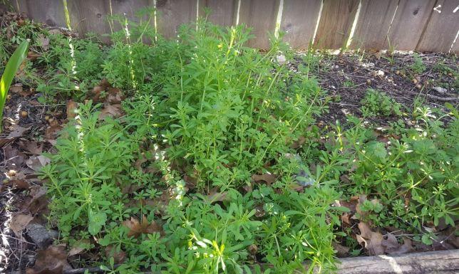 sticky weeds