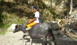 water buffalo2